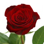 Black Magic Red Rose